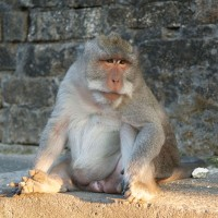 Macaque monkey in Bali.