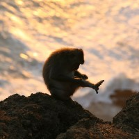 One of the species of monkeys in Bali is the Macaque.