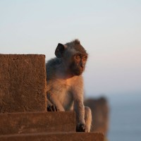 In Bali you will see a lot of monkeys.