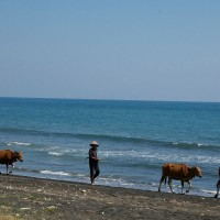 The farmers just walk with their cows on the beach in Bali.