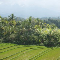 Rice fields between the trees in Bali.