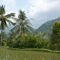 Palm trees and rice fields take turn on Bali.