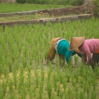 In Bali many people work in the rice fields.