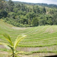 From the hills you have a magnificent view over the rice fields in Bali.