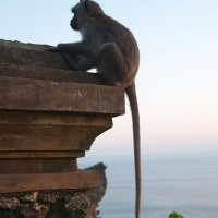 In Bali live many species of monkeys and everywhere you will come across them.